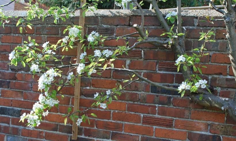 Pear Tree (2)