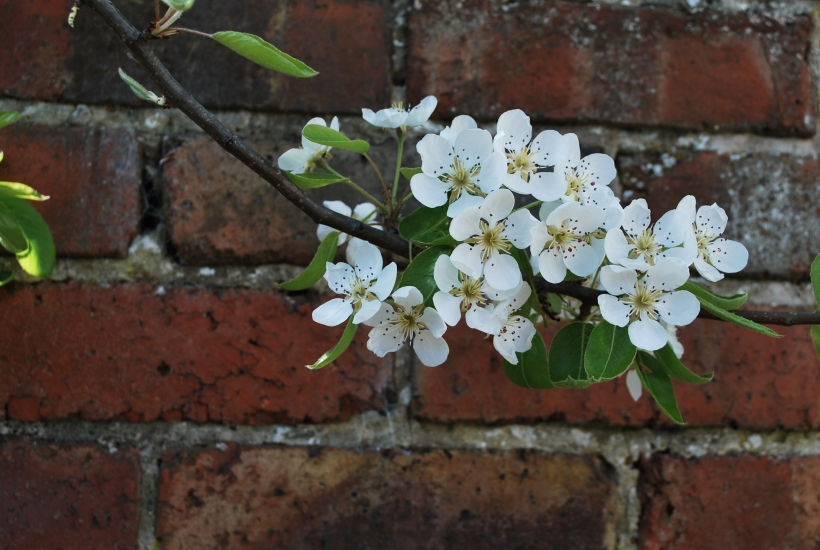 Pear Tree (3)