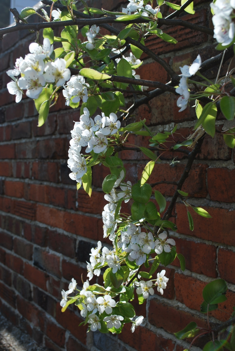 Pear Tree (4)